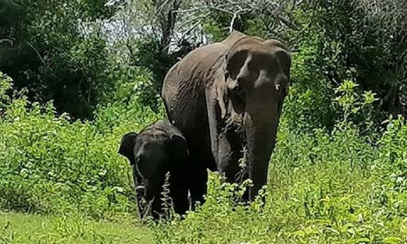 Elephant - අනේ… පුලුවන්නම් ඒ අම්මාව ජීවත් කරන්න උදව් වෙන්න…